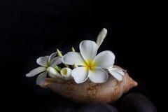 fleurissez le plumeria ou le groupe de frangipani dans la coquille de conque de mer Photos stock