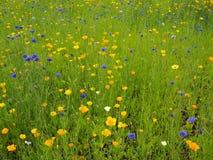 Fleurissez le pré en été avec les fleurs jaunes et bleues images stock