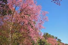 Fleurissez le Roi Tiger - Sakura à l'AMI de Chang, Thaïlande Images stock