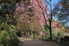 Fleurissez le Roi Tiger - Sakura à l'AMI de Chang, Thaïlande Photographie stock libre de droits