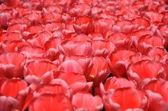 Fleurissez le tapis des tulipes rouges fleurissant dans le jour ensoleillé photo stock