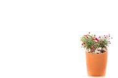 Fleurissez les roses rouges dans le pot d'argile sur un blanc Photos stock