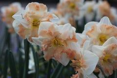 Fleurissez les tulipes Photo libre de droits