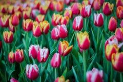 Fleurissez les tulipes Photographie stock