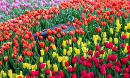 Fleurissez les tulipes Photos stock