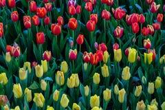 Fleurissez les tulipes Image libre de droits