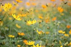 Fleurissez sur la vallée dans la sensation fraîche et lointaine, jaune bonne Photographie stock libre de droits