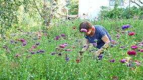 Fleuriste coupant la marguerite de michaelmas ou la fleur pourpre ou violette d'aster banque de vidéos