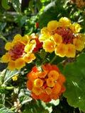 Fleurit beaucoup de couleurs Images libres de droits