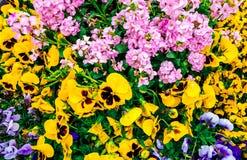 Fleurit champ de dessus de pensée le beau vers le bas de l'herbe verte comme fond dans la nature colorée, panorama photographie stock libre de droits