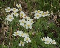 Fleurit des anémones Photo libre de droits