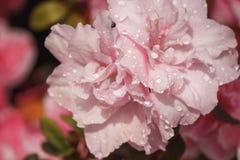 Fleurit des azalées dans les gouttelettes d'eau Photo libre de droits