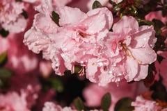 Fleurit des azalées dans les gouttelettes d'eau Photo stock