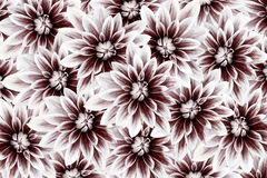 Fleurit des dahlias blanc-vinicoles Drapeau des fleurs Background collage floral Composition de fleur Images libres de droits