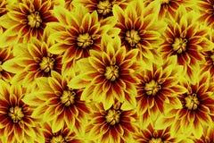 Fleurit des dahlias jaune-rouges Drapeau des fleurs Background collage floral Composition de fleur Image libre de droits