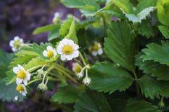 Fleurit des fraises photos stock