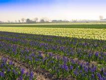 Fleurit des jacinthes photo libre de droits