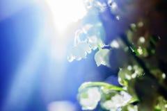 Fleurit des lis de la vallée au soleil photo stock