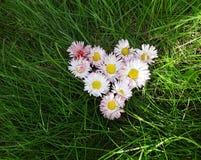 Fleurit des marguerites dans une forme de coeur Photo stock