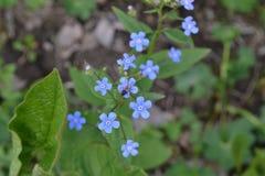 Fleurit des myosotis des marais Photographie stock