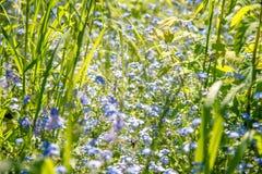 Fleurit des myosotis des marais Image libre de droits