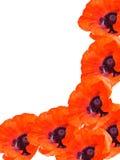Fleurit des pavots Image libre de droits