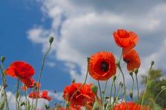 Fleurit des pavots Photographie stock