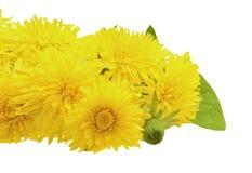 Fleurit des pissenlits, d'isolement sur le fond blanc Image libre de droits