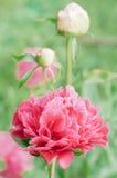 Fleurit des pivoines sur le fond vert brouillé Photo libre de droits