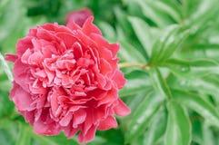 Fleurit des pivoines sur le fond vert brouillé Images libres de droits