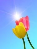Fleurit des tulipes Photographie stock