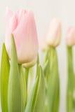 Fleurit des tulipes Photos stock