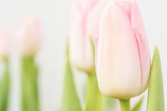 Fleurit des tulipes Image stock