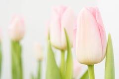 Fleurit des tulipes Image libre de droits
