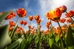 Fleurit des tulipes, ciel bleu, ntyulpany photos libres de droits