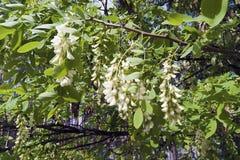 Fleurit l'acacia blanc images stock