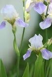 Fleurit l'iris de fond Image libre de droits
