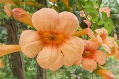 Fleurit l'orange Images libres de droits