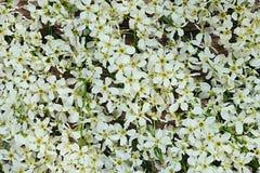 Fleurit la cerise d'oiseau dessus Macro Configuration florale Fond floral de cru Photos libres de droits