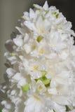 Fleurit la jacinthe Photos libres de droits