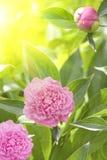 Fleurit la lumière du soleil rose de pétales de dahlias Photo libre de droits