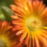 Fleurit la macro photographie de mon jardin Image libre de droits