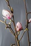 Fleurit la magnolia dans le vase en verre Stellata de magnolia Durée toujours 1 photographie stock