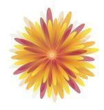Fleurit la marguerite de l'orange Photo libre de droits