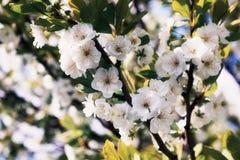 Fleurit la prune Image libre de droits