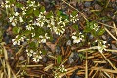 Fleurit la prune sauvage Photographie stock libre de droits