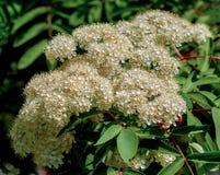 Fleurit la sorbe abaissement du temps de sorbe au printemps Fleurs blanches Photo stock