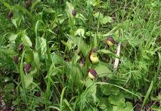 Fleurit la vraie pantoufle du ` s de dame, famille d'orchidée Photo libre de droits