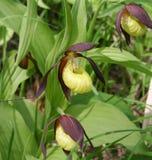 Fleurit la vraie pantoufle du ` s de dame, famille d'orchidée Photos libres de droits