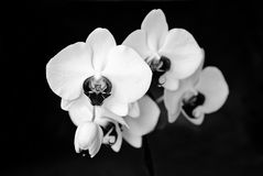 orchidee blanche et noire